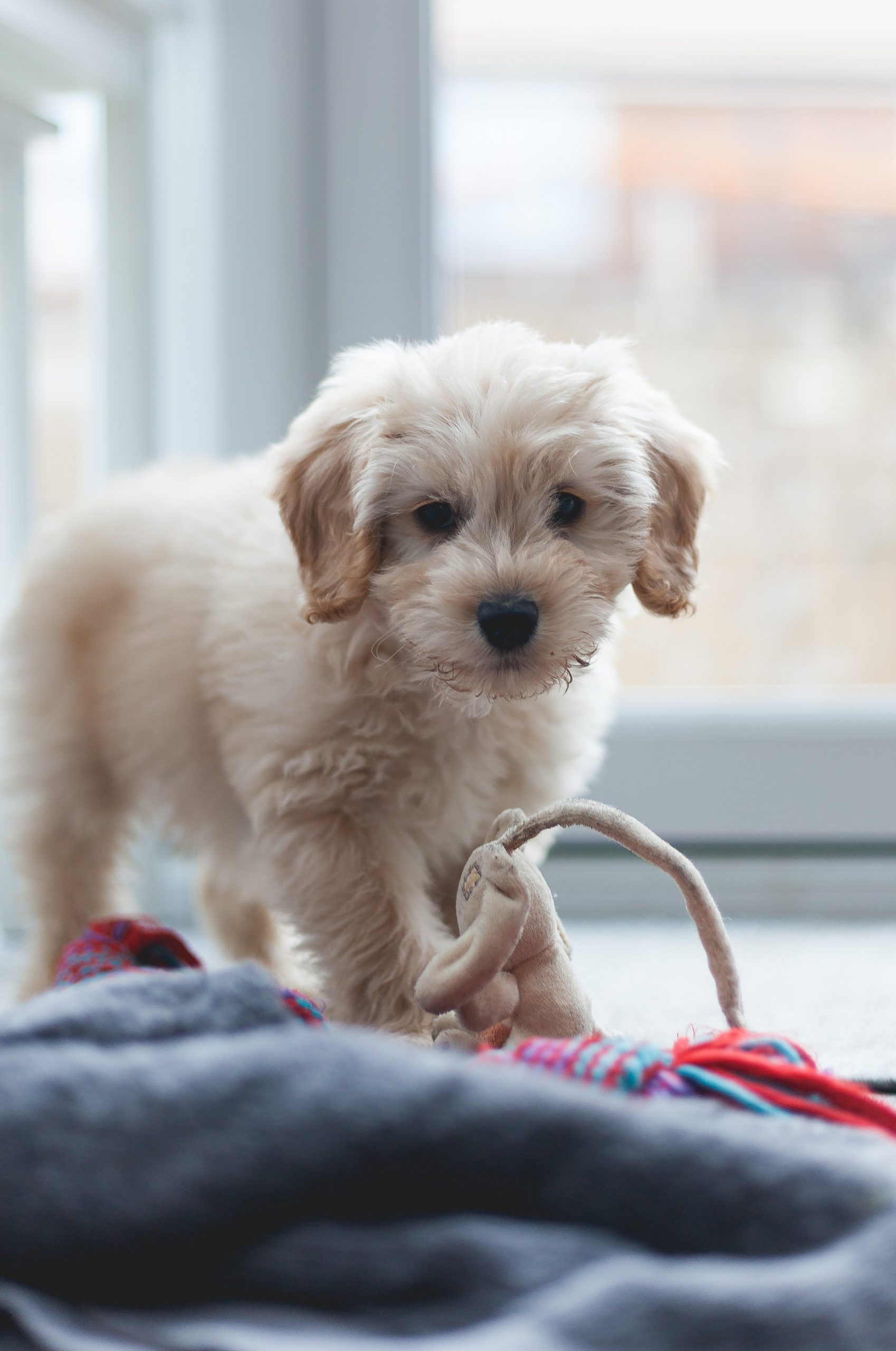 Caring For Your New Cockapoo